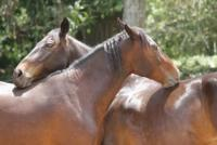 Costa Rica Natural Horsemanship Riding Vacations. Enjoy a tropical vacation with beautiful horses.