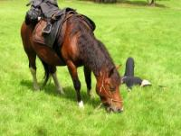 Wild country horse trails on calm hucul horses in Jizera Mountains and Giant Mountains