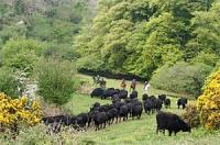 Dartmoor Riding Holidays and Dartmoor Cattle Drives, Devon England